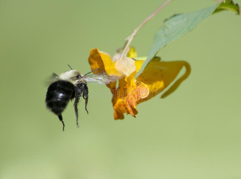 Manosee la abeja que vuela al Jewelweed fotografía de archivo