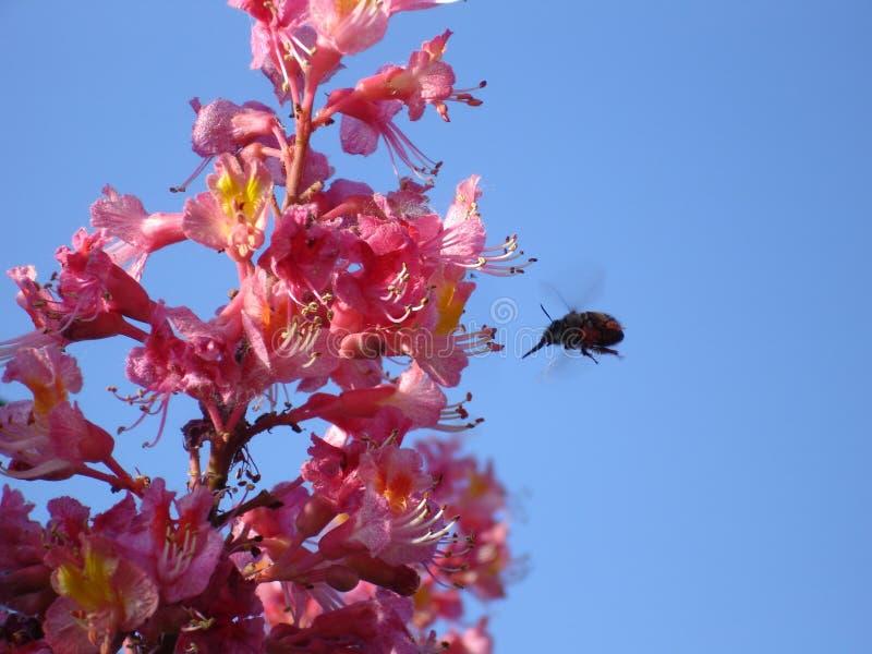 Manosee la abeja va para el almuerzo fotos de archivo
