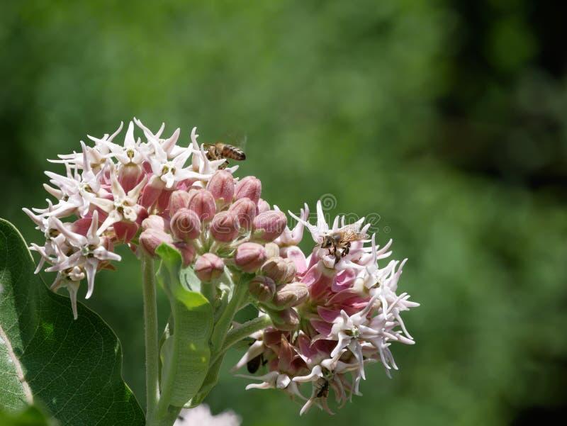 Manosee las abejas en las flores imagenes de archivo