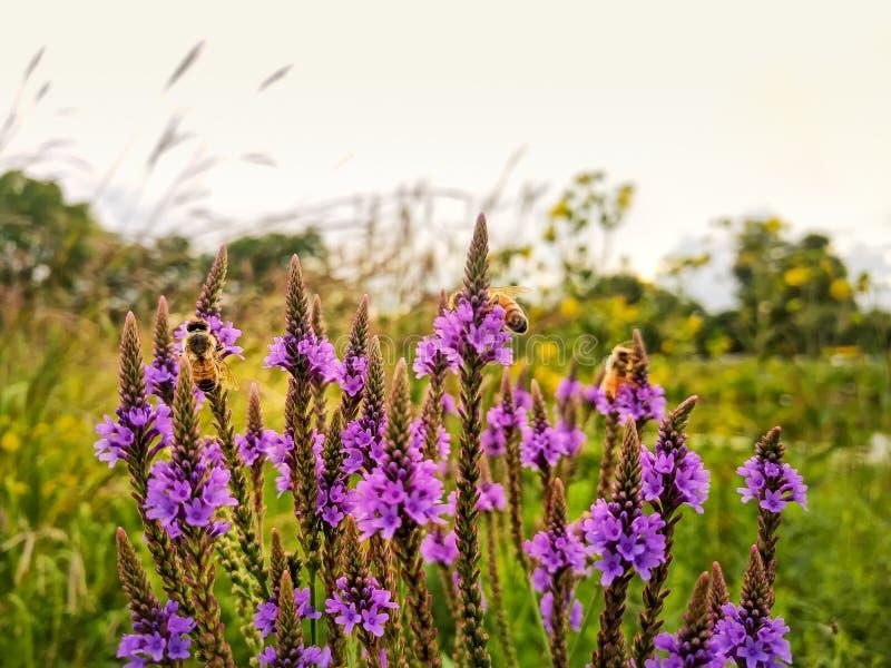 Manosee las abejas polinizan wildflowers durante verano Paisaje de la pradera foto de archivo libre de regalías
