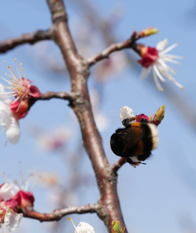 Manosee las flores de polinización de la cereza de la abeja imagen de archivo libre de regalías