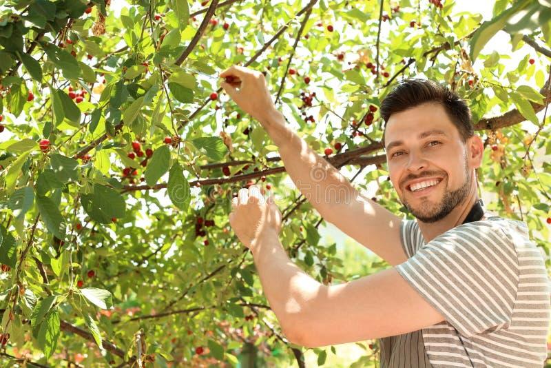 Manplockningkörsbär i trädgård royaltyfri foto