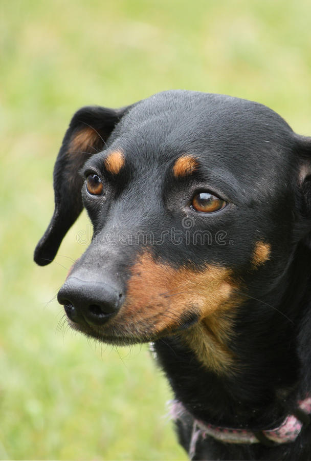 Download Mans Best Friend stock image. Image of outdoors, shorthair - 24674435