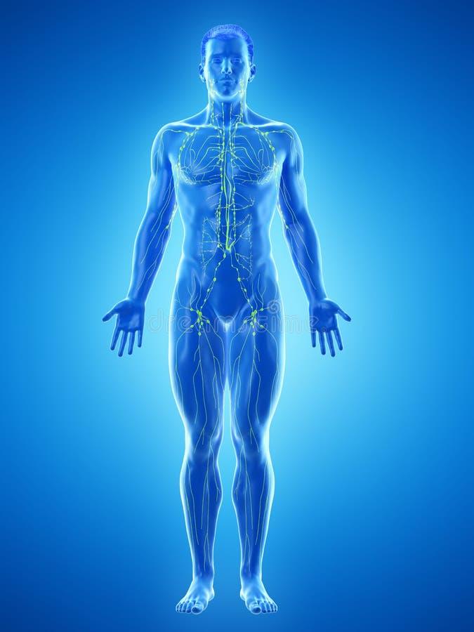 Mans det lymfatiska systemet stock illustrationer