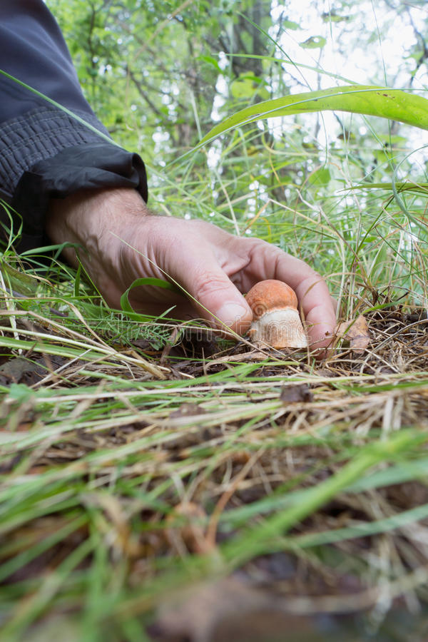 Mans hand plucks a small orange-cap boletus in a clearing. In the woods royalty free stock image
