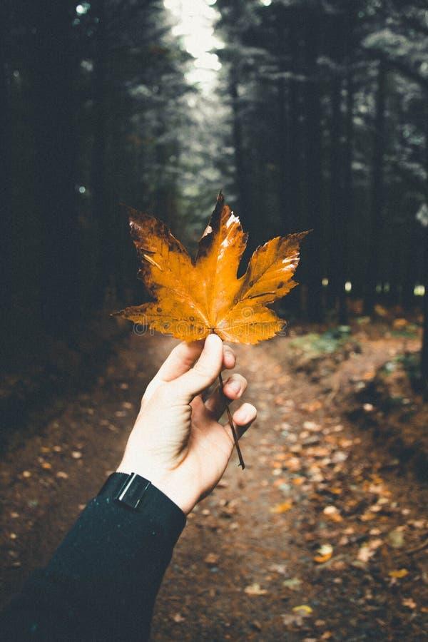 Mans hand som rymmer ett härligt guld- höstblad i en skog royaltyfri foto