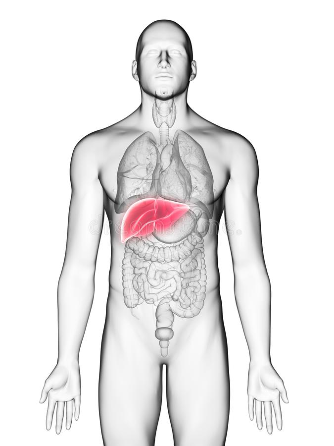 A mans liver. 3d rendered medically accurate illustration of a mans liver vector illustration