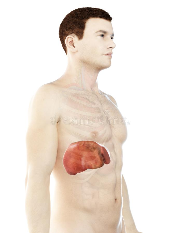 A mans liver. 3d rendered medically accurate illustration of a mans liver royalty free illustration