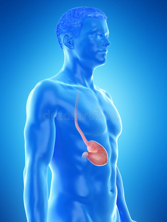 A mans stomach. 3d rendered medically accurate illustration of a mans stomach vector illustration