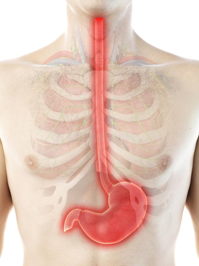 A mans stomach. 3d rendered medically accurate illustration of a mans stomach stock illustration