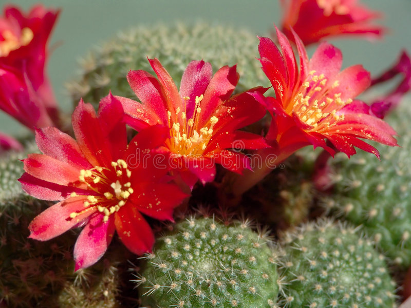 Mansoneri florescendo de Rebutia do cacto fotos de stock