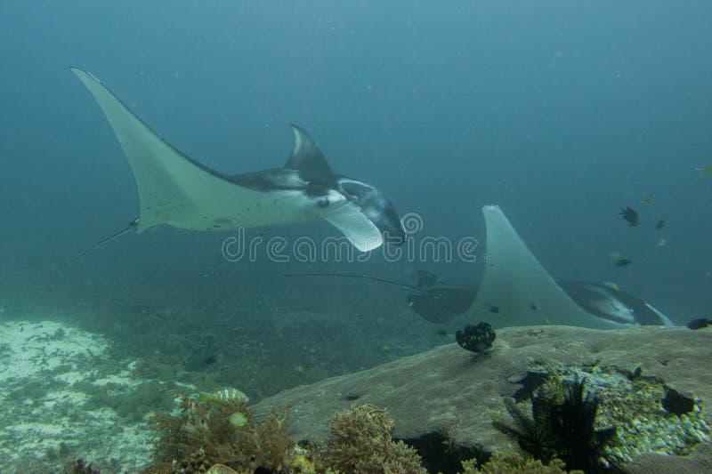 Manta пока ныряющ в радже Ampat Папуа Индонезии стоковые фотографии rf