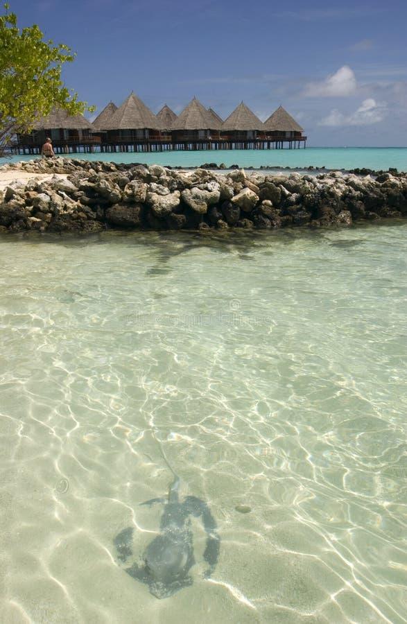 Download Manta de Maldives imagem de stock. Imagem de palma, indian - 12801943