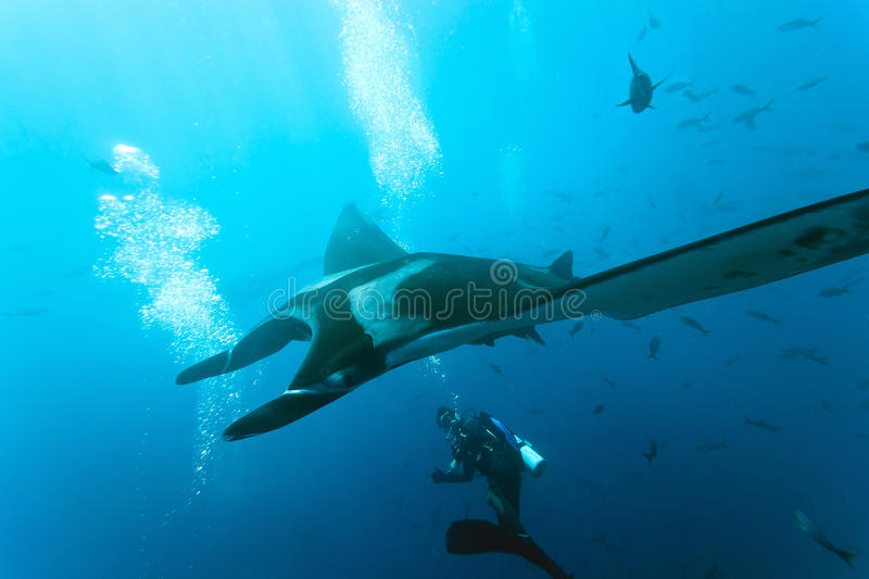 Download Manta And Diver On The Reef Stock Photo - Image: 33171218