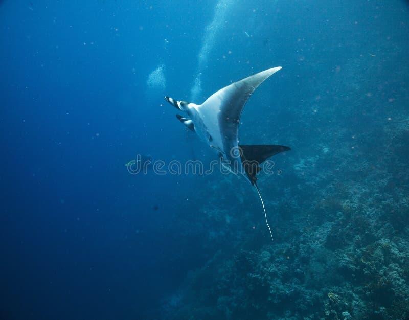 Download Manta (manta birostris) stock image. Image of butterflyfish - 5349775