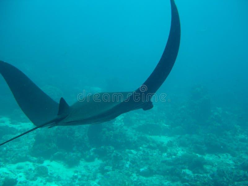 Manta nero unico, Komodo   fotografia stock