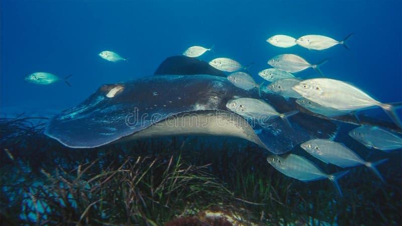Manta promienia mant alfredi pływa nad oceanicznym pinaklem w Komodo parku narodowym, Indonezja Mantas znajdują na całym świecie  obrazy royalty free