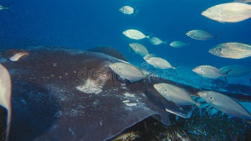 Manta promienia mant alfredi pływa nad oceanicznym pinaklem w Komodo parku narodowym, Indonezja Mantas znajdują na całym świecie  fotografia royalty free
