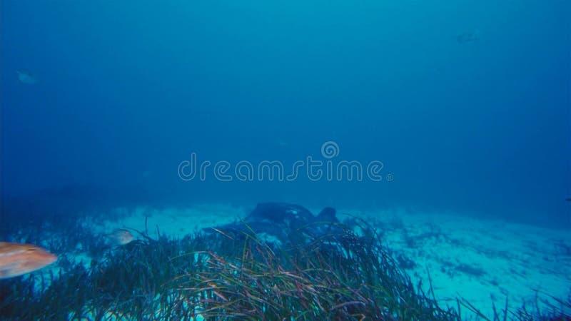 Manta promienia mant alfredi pływa nad oceanicznym pinaklem w Komodo parku narodowym, Indonezja Mantas znajdują na całym świecie  zdjęcia stock