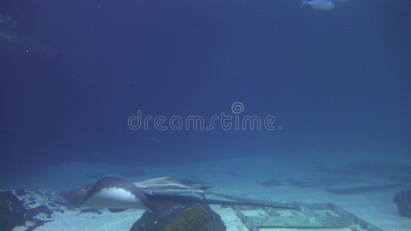 Manta promienie, Stingrays, Sealife, Podwodny zbiory