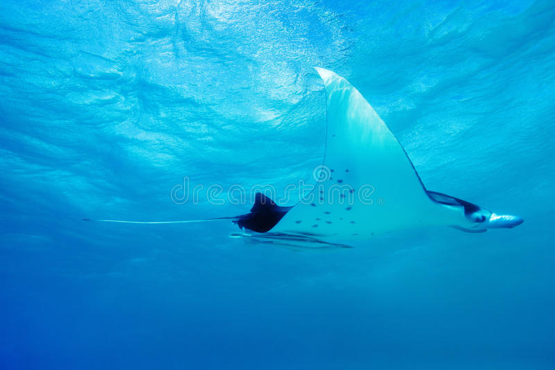 Download Manta ray stock photo. Image of reef, giant, diving, polynesia - 26814738