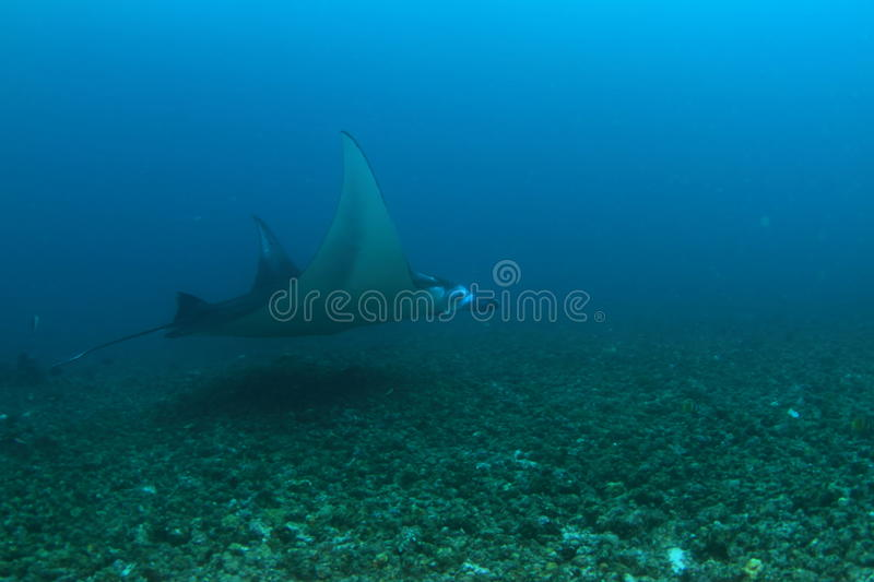 Download Manta ray stock photo. Image of corral, giant, bottom - 38075710