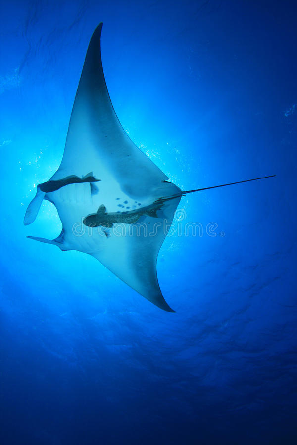 Manta Ray. (Manta birostris) with blue water background