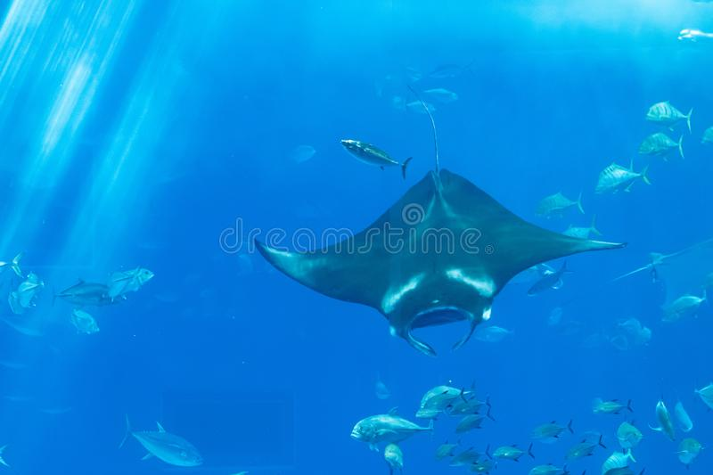 A manta ray behind the glass with Marine life. For background stock photos