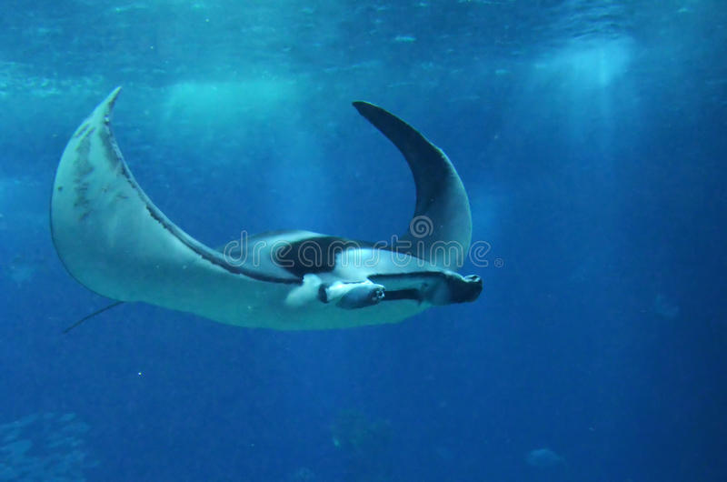 Manta ray royalty free stock image