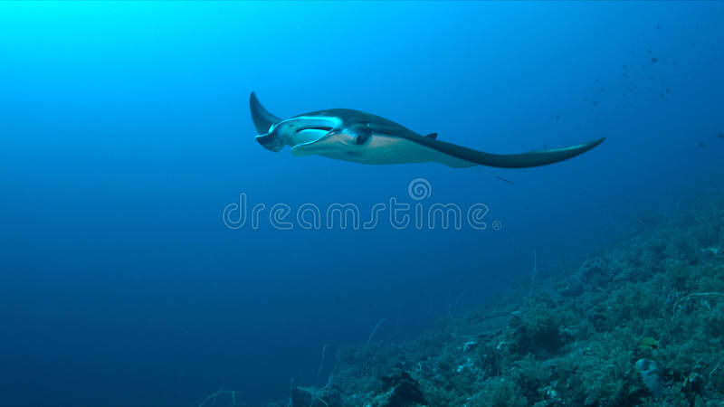 Download Manta ray on a coral reef stock image. Image of surface - 85402793