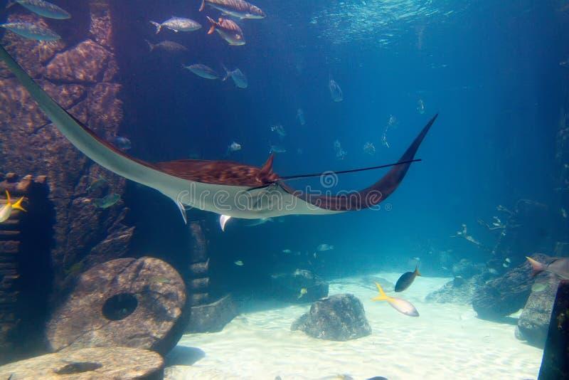 Manta Ray in de Bahamas stock foto's