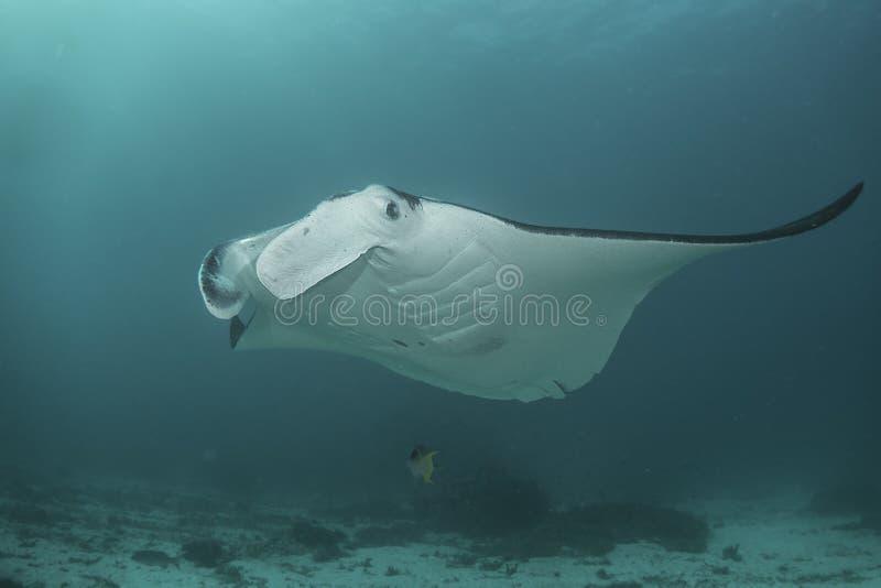 Manta Ray do recife imagens de stock
