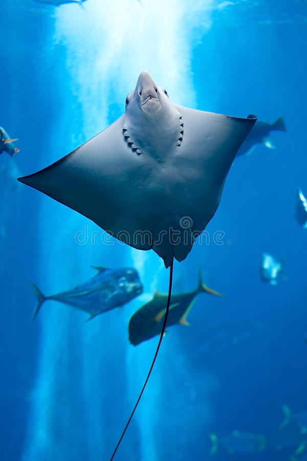 Manta ray floating underwater royalty free stock photo