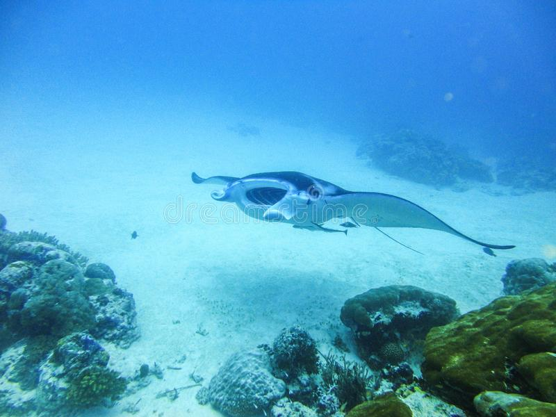 Manta ray at German channel scuba diving spot near Carp Island. On Palau stock photos