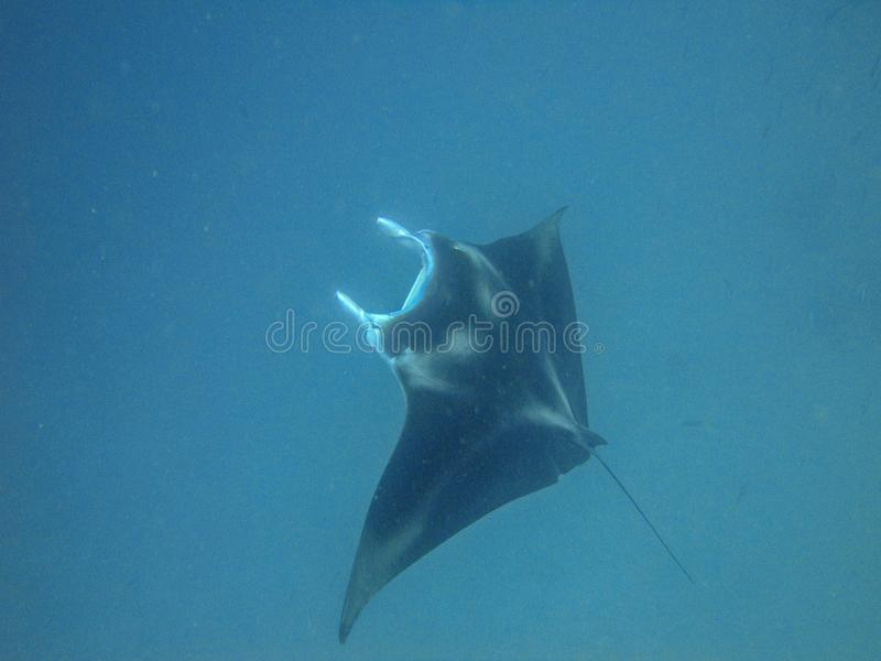 Manta ray at German channel scuba diving spot near Carp Island. On Palau royalty free stock photography