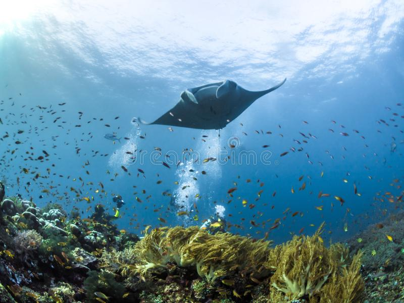 Manta Ray hovering over coral reefs. Oceanic Manta ray hovering over coral reefs in Raja Ampat, Indonesia royalty free stock photo