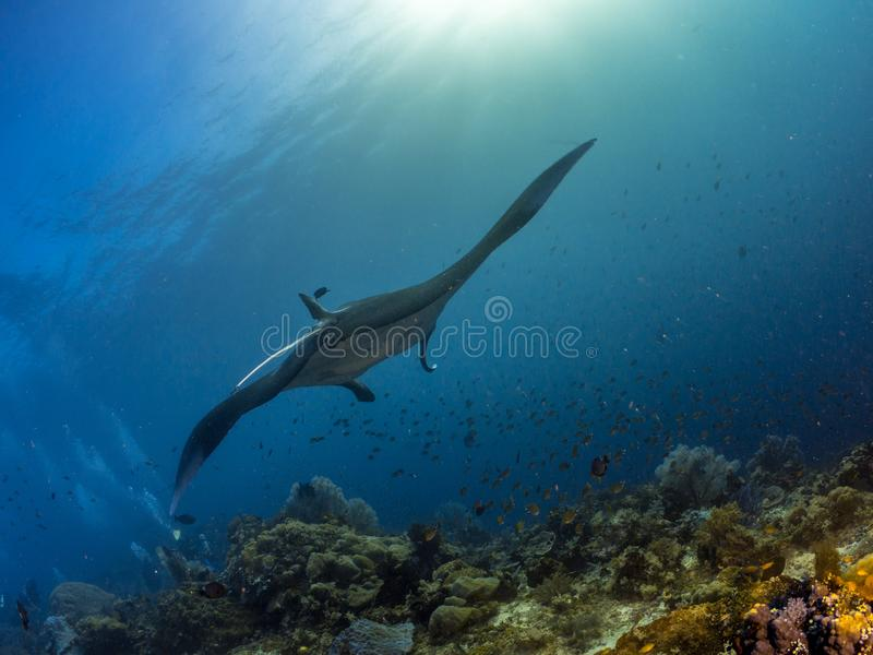 Manta Ray hovering over coral reefs. Oceanic Manta ray hovering over coral reefs in Raja Ampat, Indonesia royalty free stock image