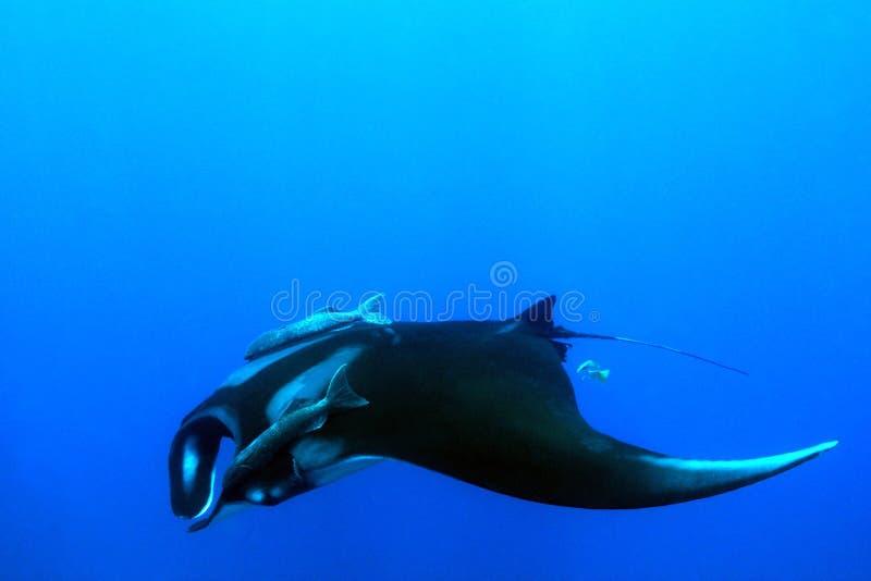 Manta Ray i blåtten royaltyfri fotografi