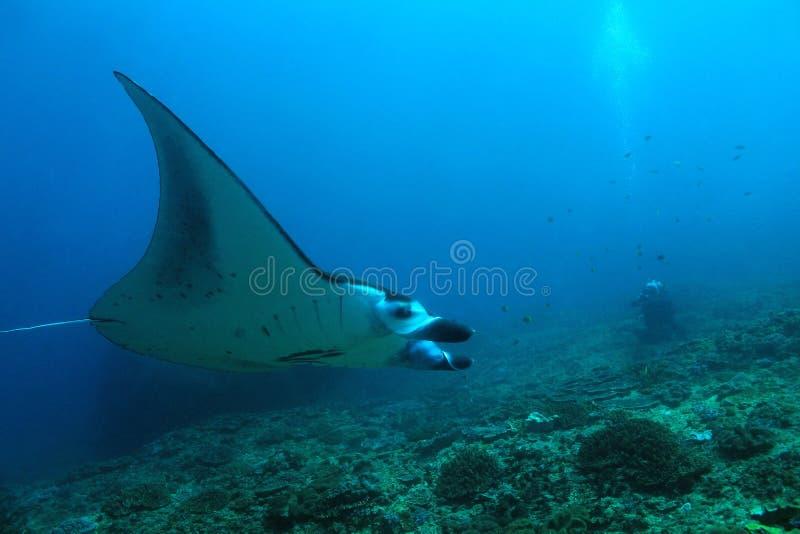 Manta Ray Over Reef royaltyfri bild