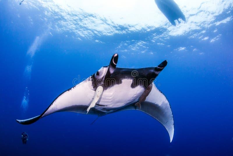 Manta Ray på Islas Revillagigedos, Mexico royaltyfri fotografi