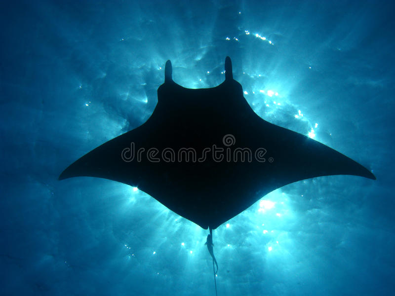 Manta ray sunburst. Manta ray silhouette with the suns rays bursting through the surface of the ocean. a small remora trails behind the flying underwater giant