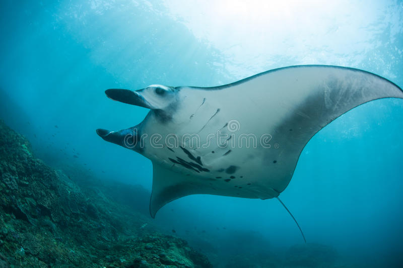 Manta Ray and Sunlight stock images