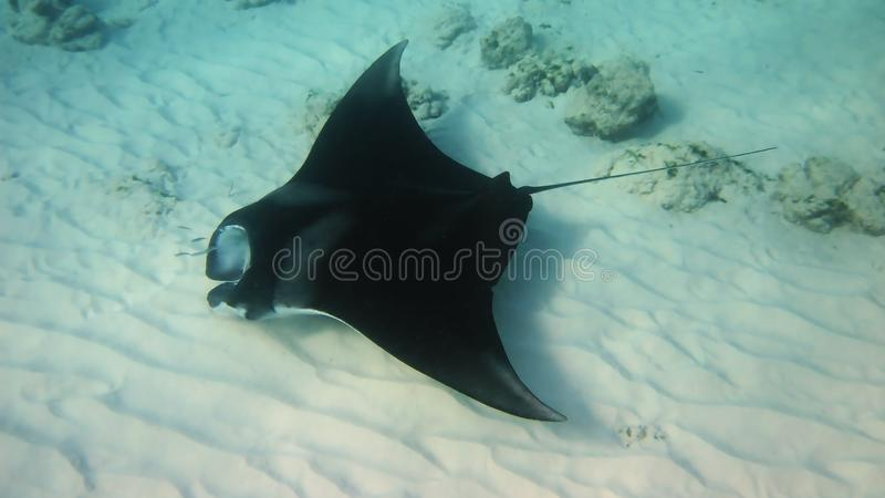 Download Manta Ray stock image. Image of diving, underwater, travel - 31165265
