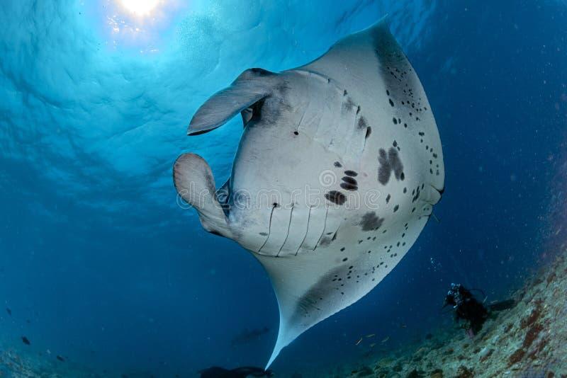 Manta som ?r undervattens- i den bl?a havbakgrunden royaltyfri fotografi