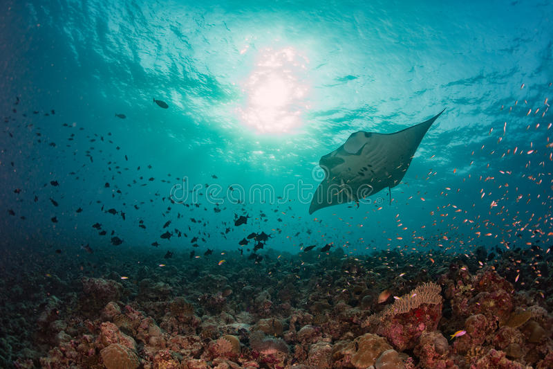 Manta underwater in the blue ocean background stock image
