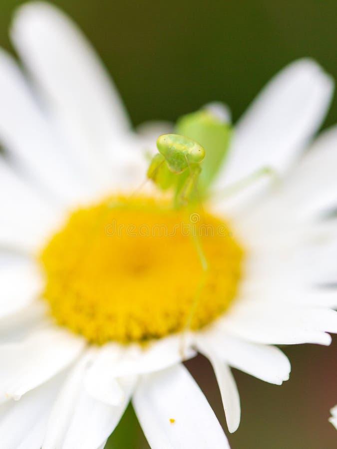 Mante de prière d'insecte se reposant sur une fleur image libre de droits
