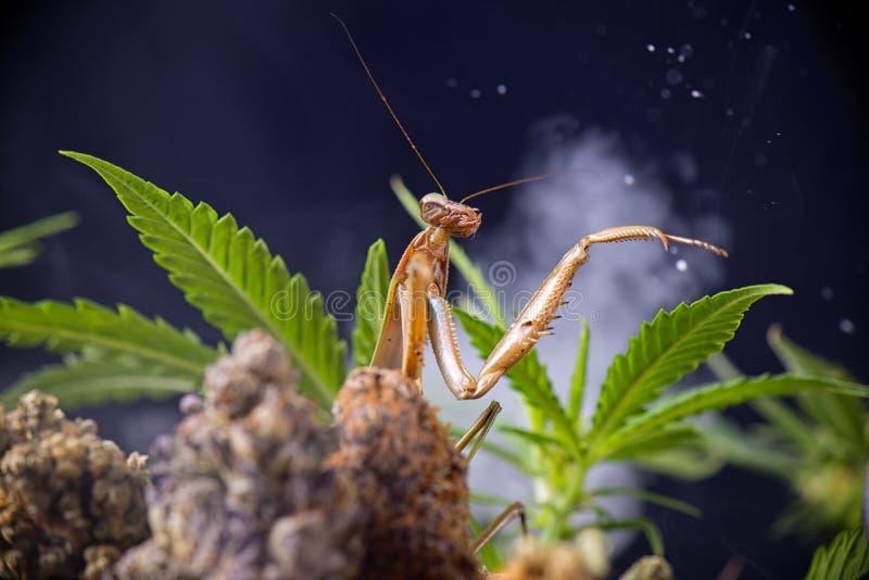 Mante de prière (sinensis de Tenodera) et feuilles de cannabis image libre de droits