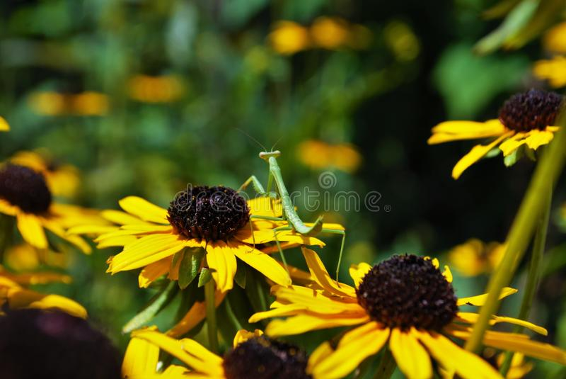 Mante de prière sur une fleur lumineuse photos stock