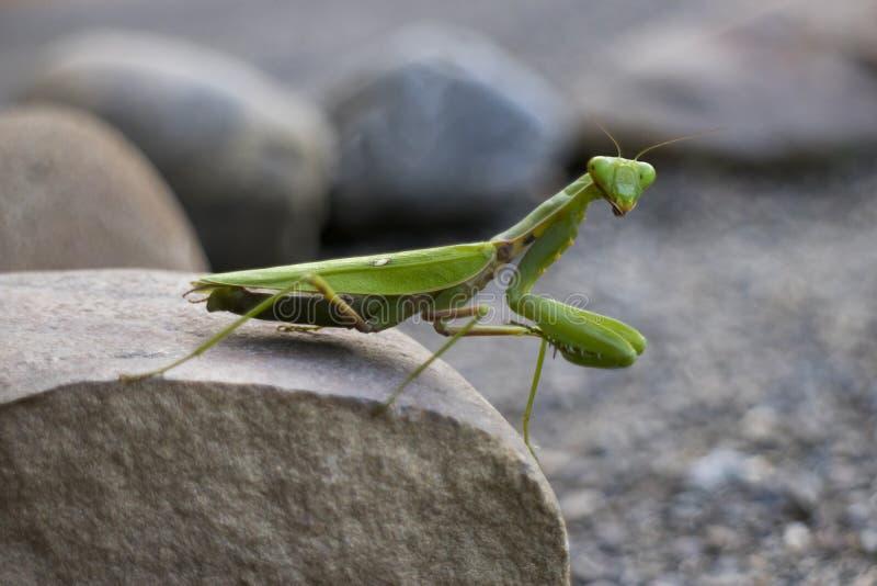Mante de prière verte se reposant sur une pierre photos libres de droits