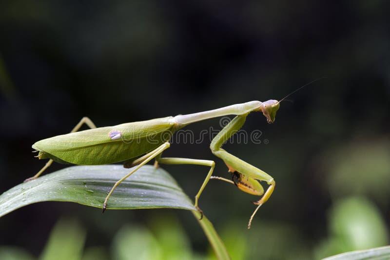 Mante en position de chasse sur la feuille verte photo stock